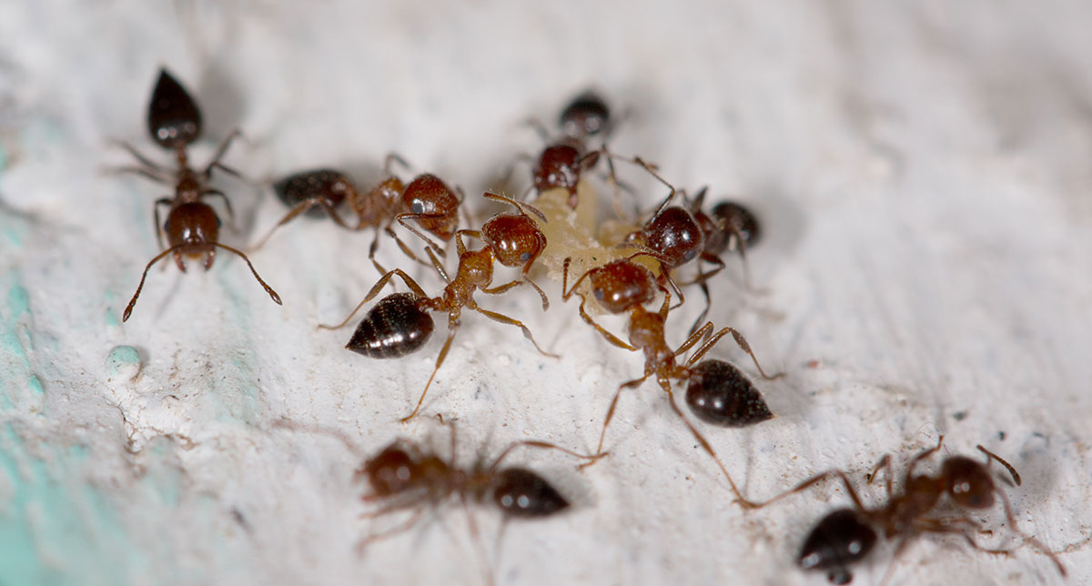 Picture of ants eating ant control bait in baton rouge louisiana