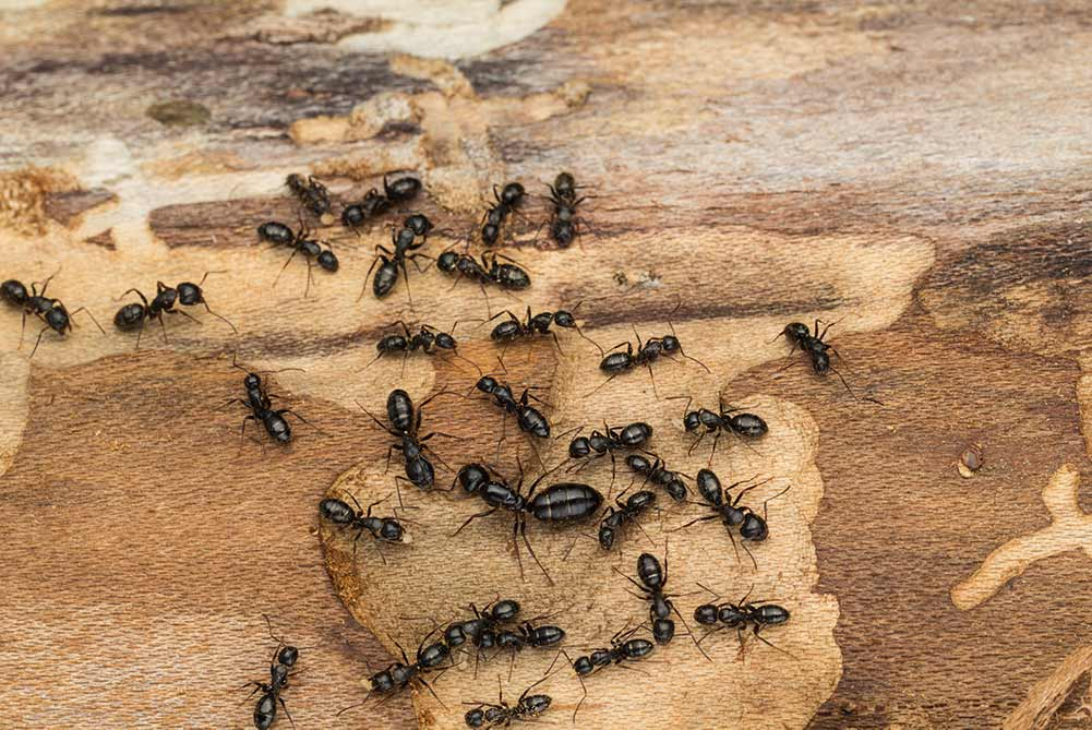 Picture of carpenter ants in baton rouge louisiana
