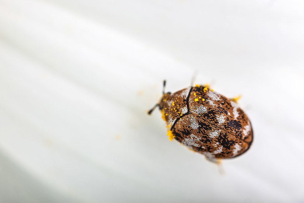 Picture of varied carpet beetle pest control baton rouge louisiana