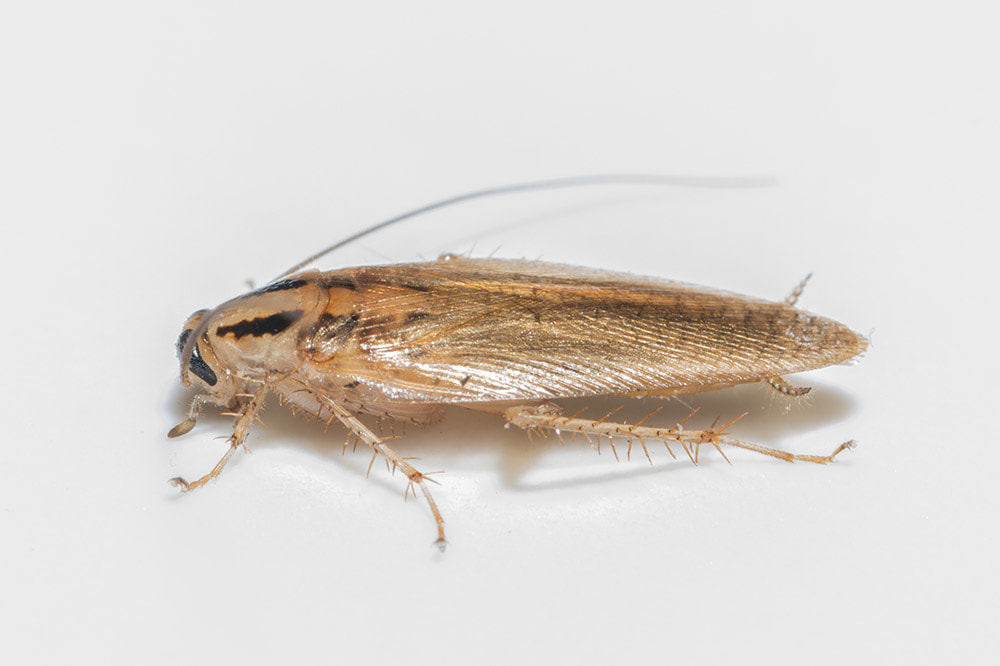 Picture of German Cockroach in Baton Rouge Louisiana