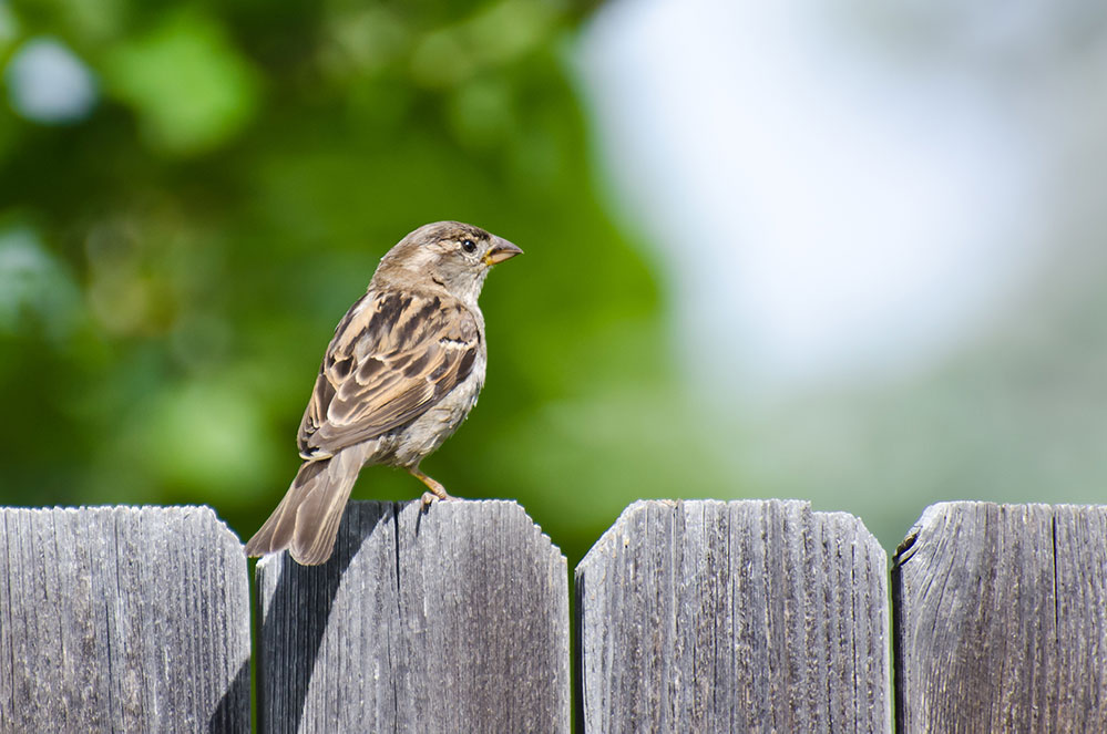 Picture of house sparrow on fence