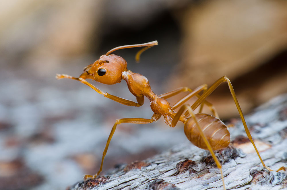Picture of rasberry crazy ant