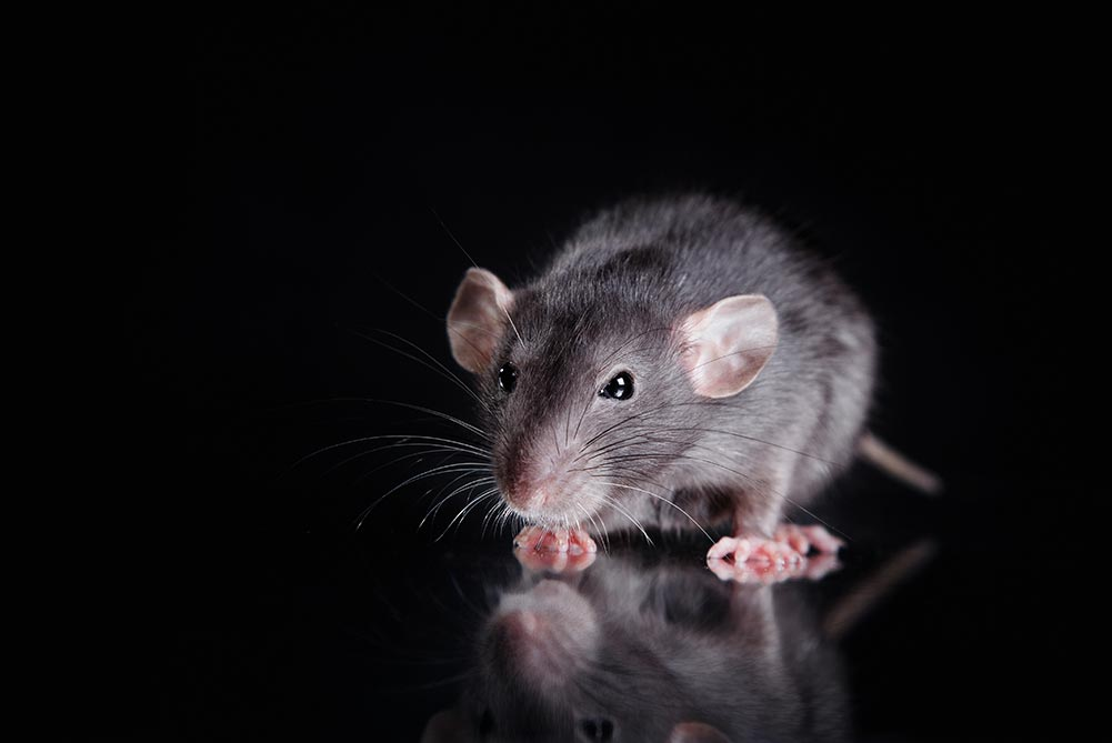 Picture of a roof rat