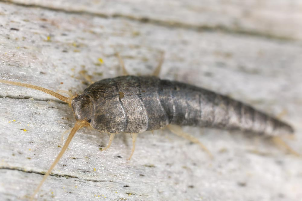 Picture of silverfish pest control baton rouge