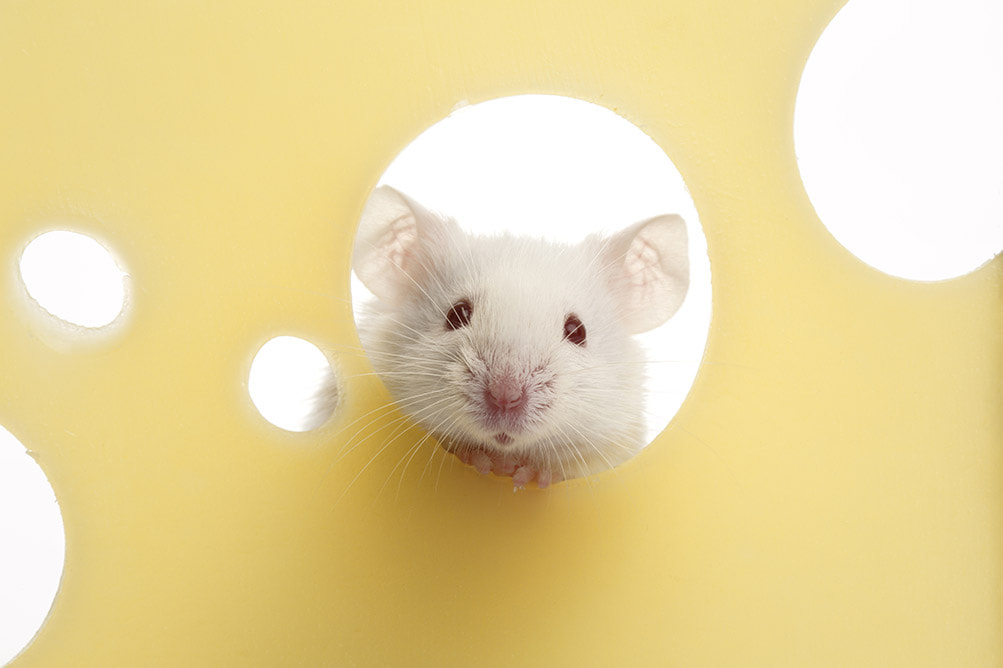 Picture of mouse in cheese